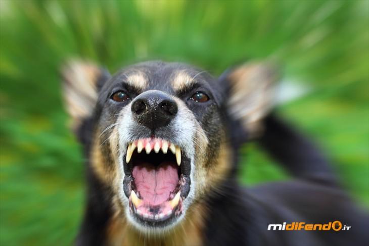 cane-feroce